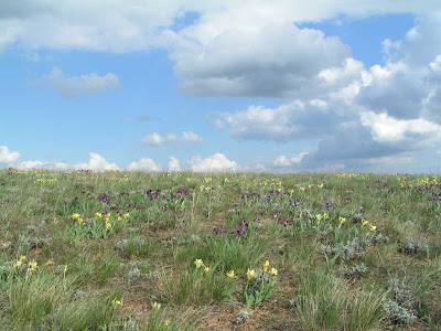 Цветение ириса карликового (Iris pumila)