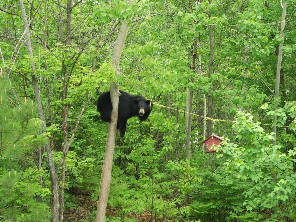 Okanagan Similkameen Stewardship black bear