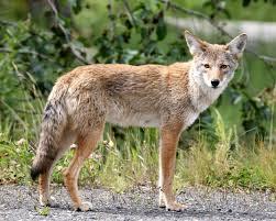 Top 10 Haiwan Terpantas Di Dunia coyote