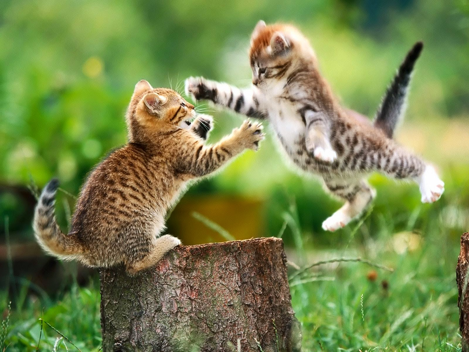 Cats Fighting Kittens