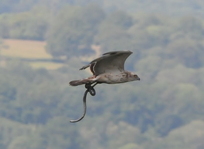 SHORT TOED SNAKE EAGLE-WYCH CROSS-EAST SUSSEX-17TH JUNE 2014