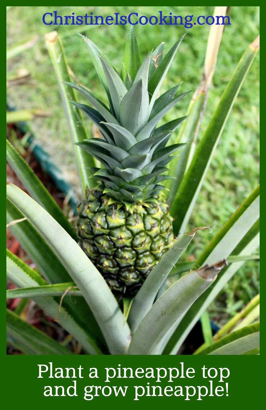 how to grow pineapple plant from the top