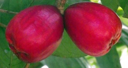 la puma rosa fruta