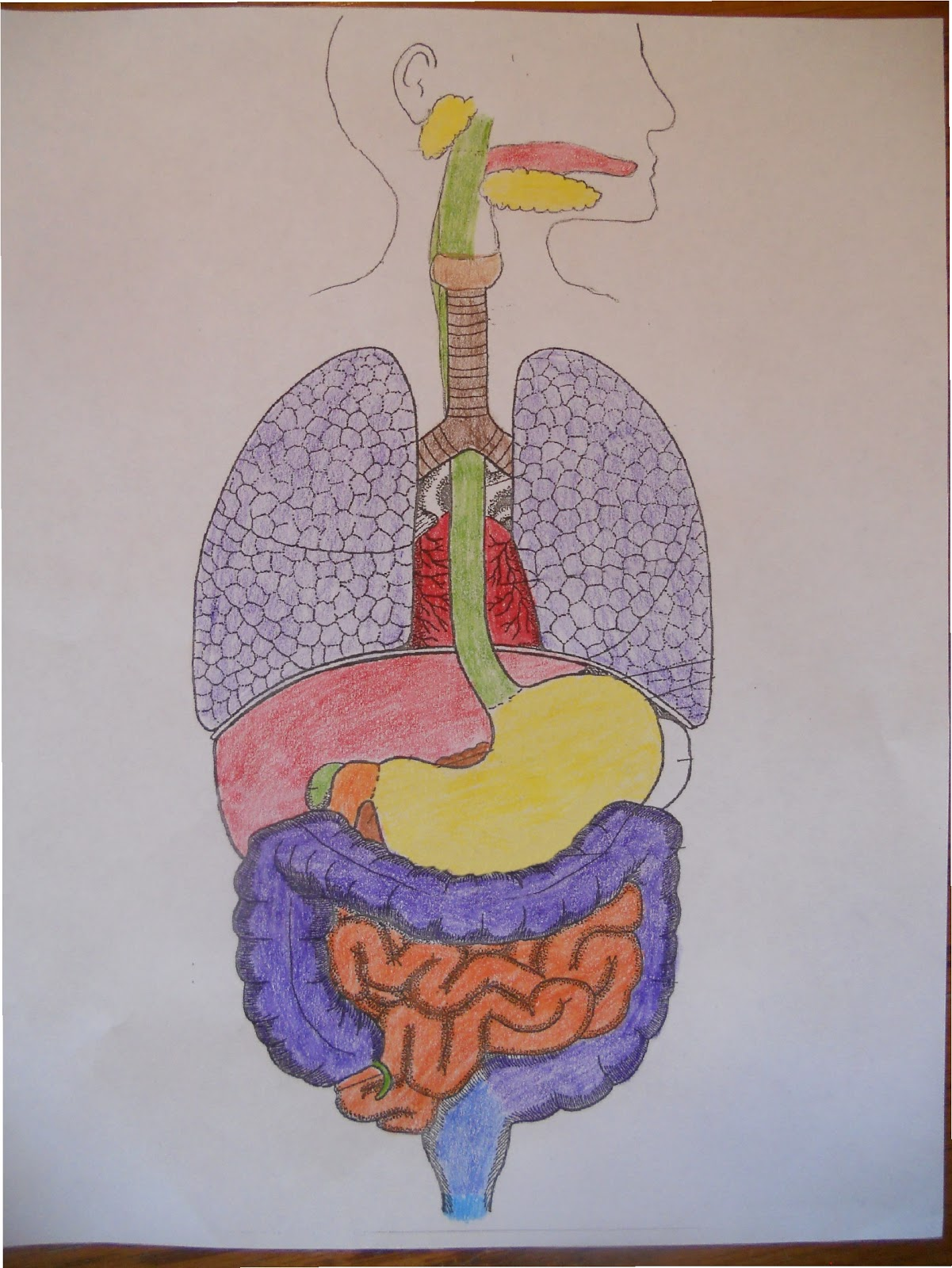 Homeschoolers resources apologia general science module 13 the apologia general science module 13 the human digestive system ccuart Image collections