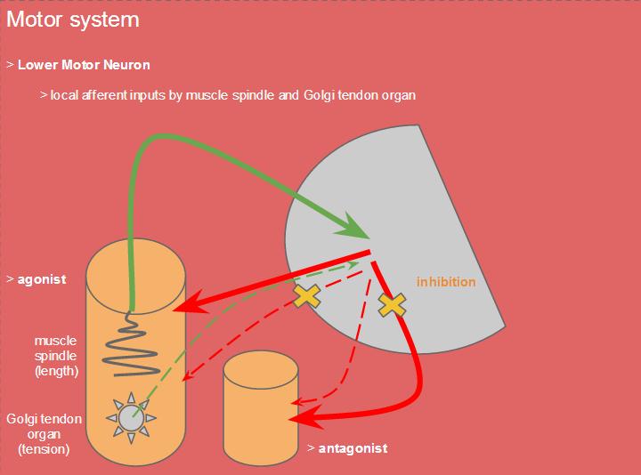 i love physical therapy: Golgi tendon reflex vs. stretch reflex