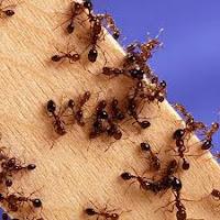 النمل من اعداء النحل