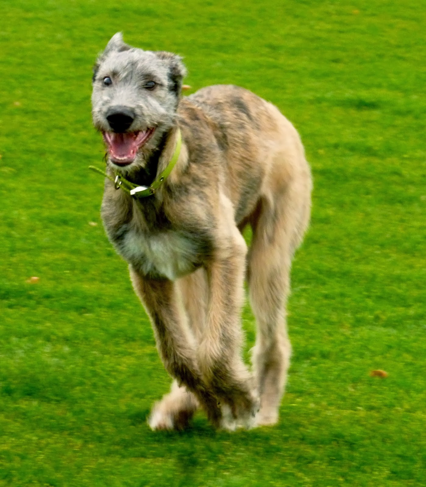 Poet Red Shuttleworth Peaches Irish Wolfhound Poetry Puppy On