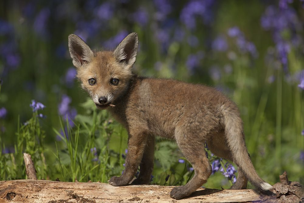 13. Fox Cub in the Bluebells
