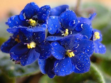 La violetta africana piante in fiore e il mio giardino for Violetta africana