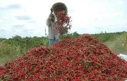 NCDEX Chilli Falls On Subdued Demand