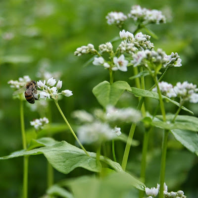 Buckwheat (Fagopyrum Esculentum) Overview, Health Benefits, Side effects