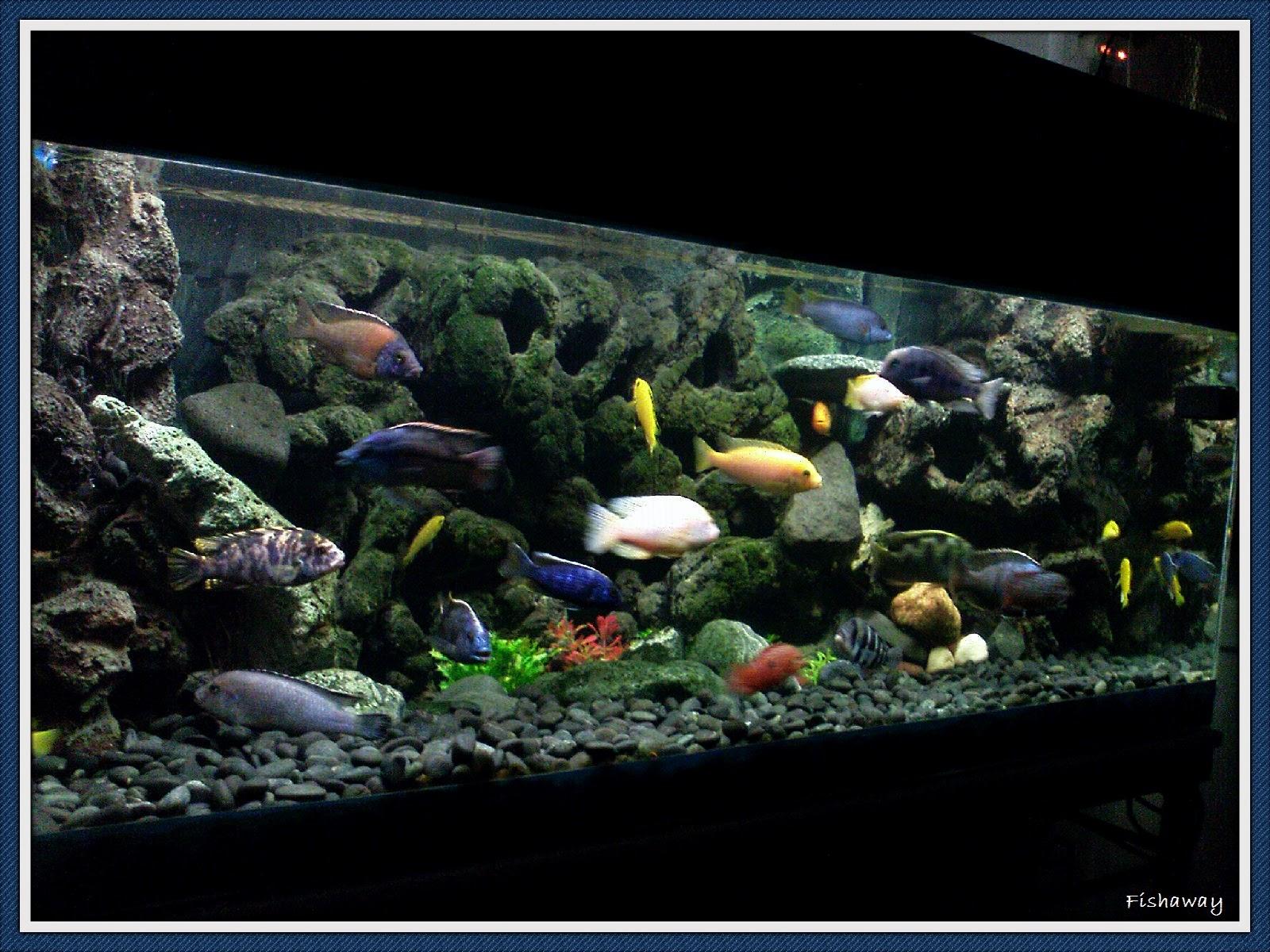 Fishaway aquarists cichlid aquarium keeping for Black sand fish tank