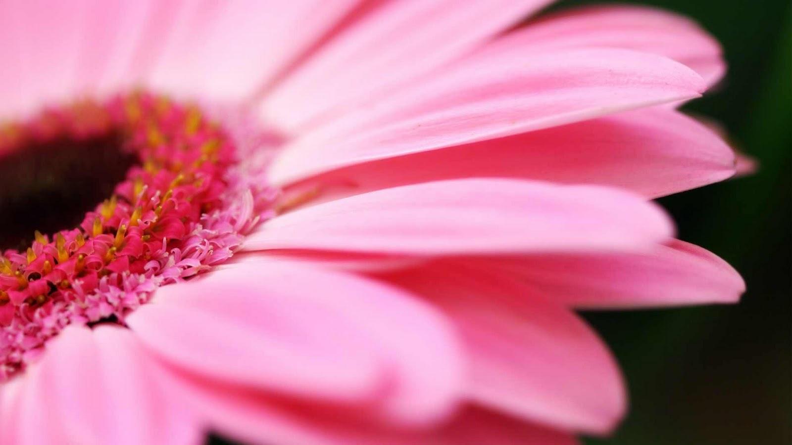 flower photos pink gerbera. Black Bedroom Furniture Sets. Home Design Ideas