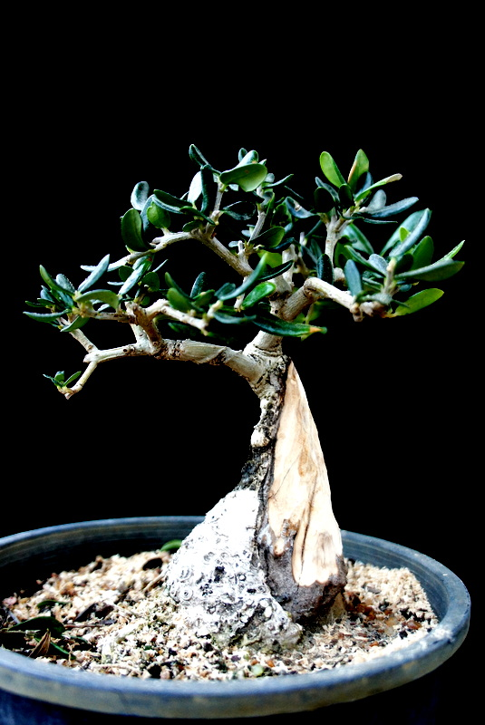 Newzealandteatreebonsai june 2012 for How to make an olive tree into a bonsai
