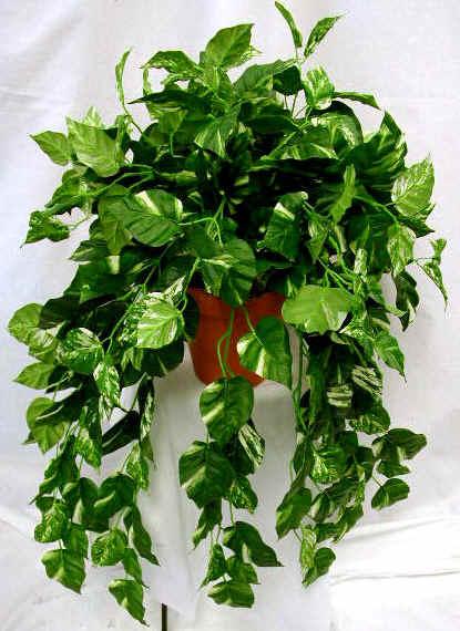 Piante e fiori piante d 39 appartamento apprezzate per la for Piante d appartamento