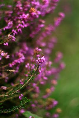 heather plants