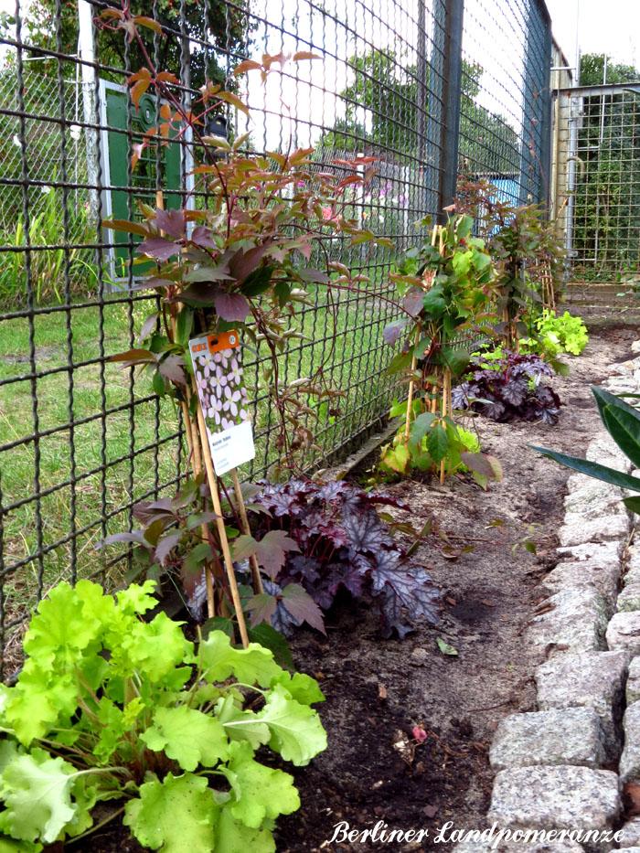 berliner landpomeranze ein berlin gartenblog clematis als zaunbegr nung pflanzen. Black Bedroom Furniture Sets. Home Design Ideas