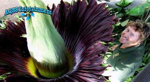 Bunga bangkai raksasa memang lazim dijumpai di hutan tropis Indonesia. Namun apa jadinya jika bunga berbau busuk ini mekar di Kebun Binatang Paignton, di Devon,