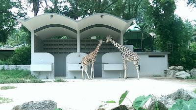 #kelabbloggerbenashaari, #zoonegara, #zoonegaramalaysia, #zoonegaraonlineticket, #giantpanda, #wildlife, #curves, #cosmoderm, #foodpanda, LIANG LIANG DAN XING XING DI MALAYSIA, kelab blogger ben ashaari, zoo negara, zoo negara malaysia, zoo negara online ticket, giant panda, wild life, curves, cosmoderm, food panda, panda gergasi, tiger, hornbill, Pusat Konservasi Panda Gergasi, GPCC, KELAB BLOGGER BEN ASHAARI DI ZOO NEGARA, ZOO NEGARA SHOW AMPHITHEATRE, TUNKU ABDUL RAHMAN AQUARIUM, HORNBILL CENTRE, ORANG UTAN, BUTTERFLY GARDEN, Taman Haiwan Negara, Tiger, Panda, KELAB BLOGGER BEN ASHAARI DI ZOO NEGARA MALAYSIA, Jom melawat Zoo Negara, Wild Life Park Restaurant, tram