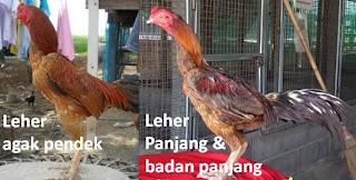 Leher ayam bangkok yang bagus tidak bengkok