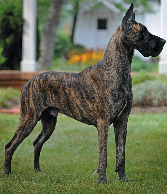 several inches or centimeters taller than the Great Dane as a breed