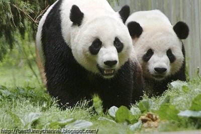 panda bears pictures 8