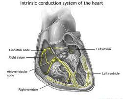 how does the hearts electrical system work