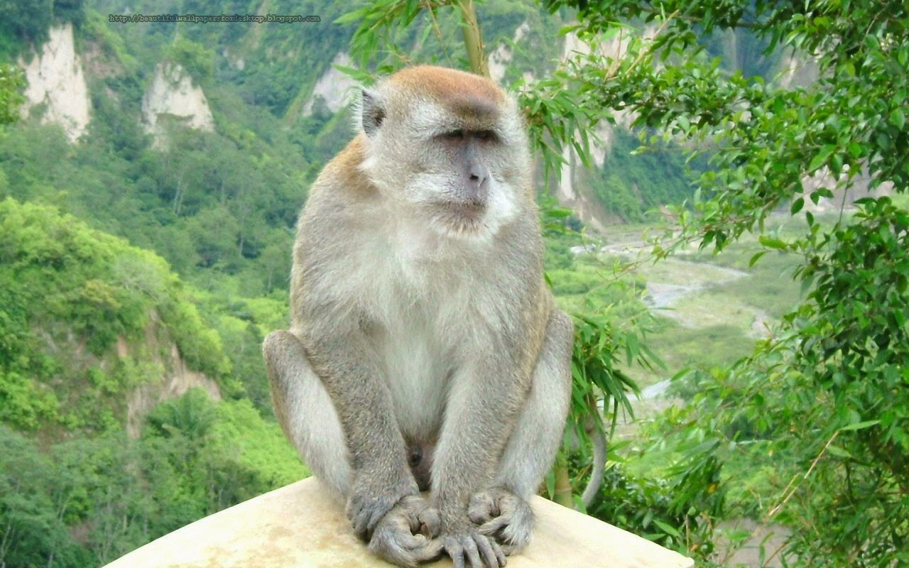 Beautiful Desktop Hd Wallpapers 1080p Monkey Wallpapers Hd