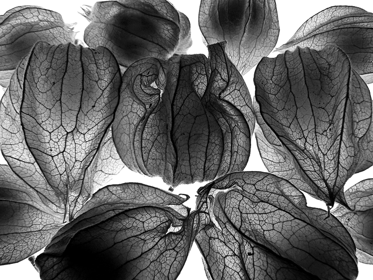fotografia de physalis, physalis, phisalis photo