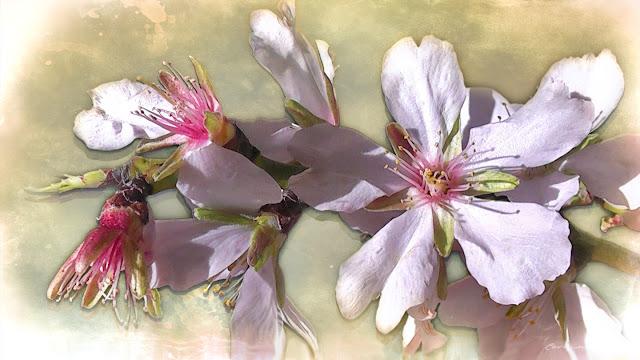 flor-del-almendro