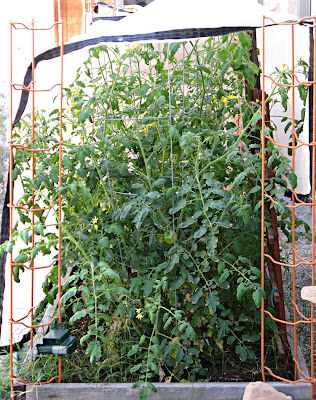 Tomatoes in particular will flower profusely in the heat but not set a ...