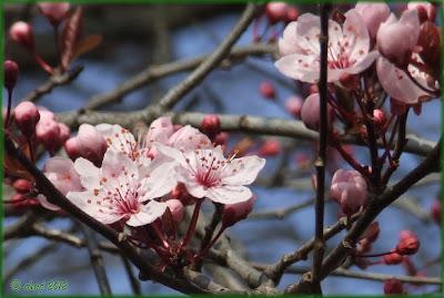 Prunus fiorito