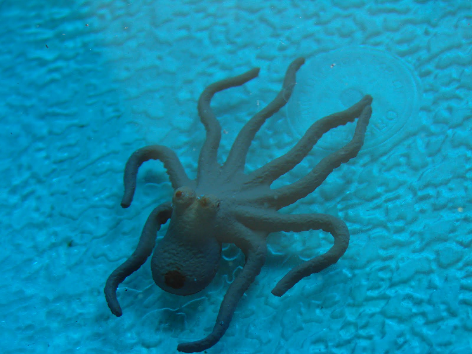 Octopus UnderwaterUnderwater Octopus