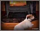 Hunden Jackson