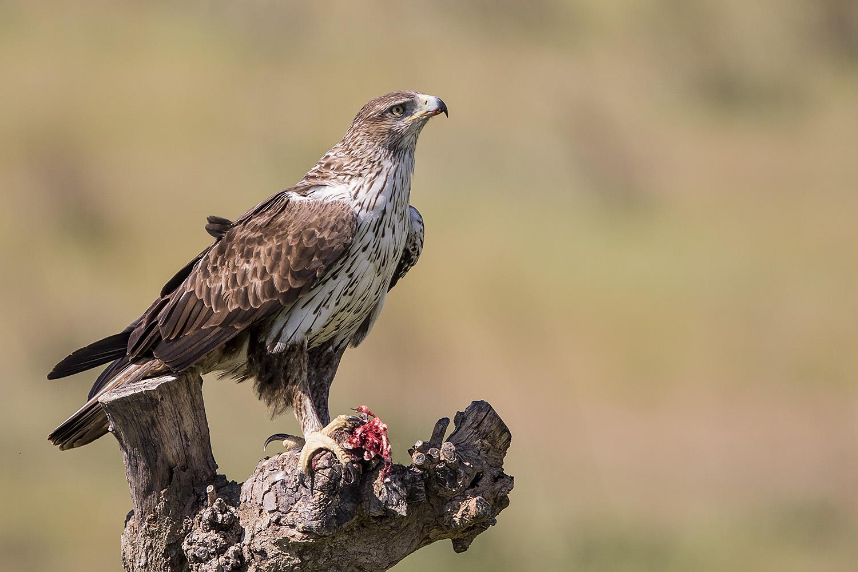 Hide Bonelli's eagle (águila azor perdicera)