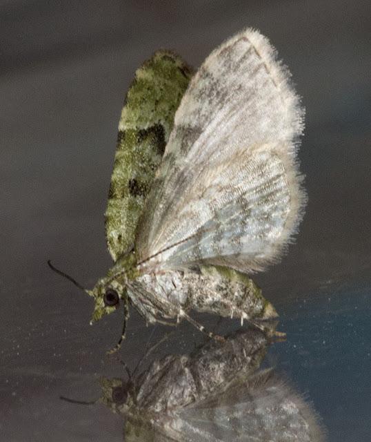 V-pug, Chloroclystis v-ata.  Jubilee Country Park, 6 July 2012.