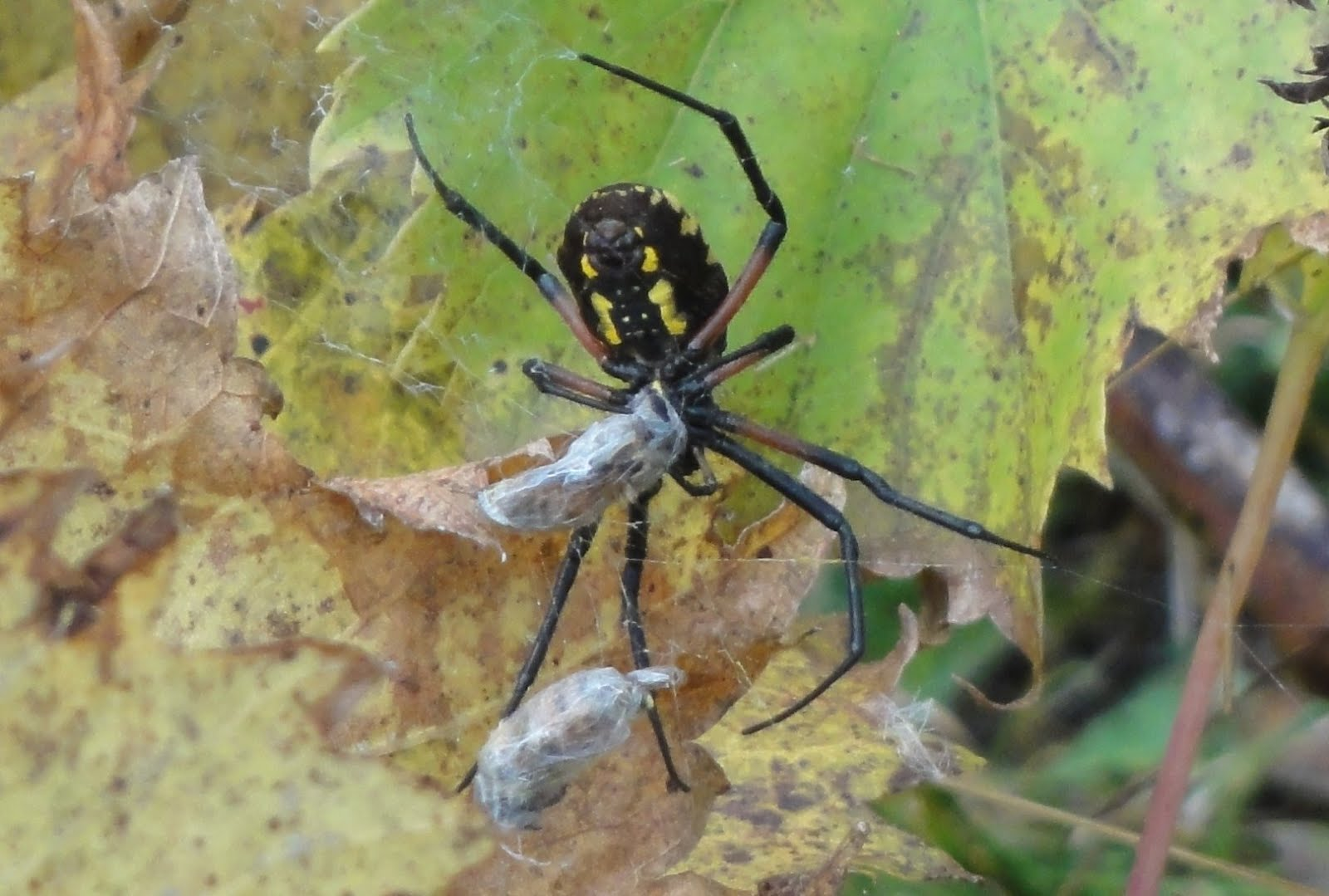 Black Yellow Garden Spider Michigan Garden Ftempo
