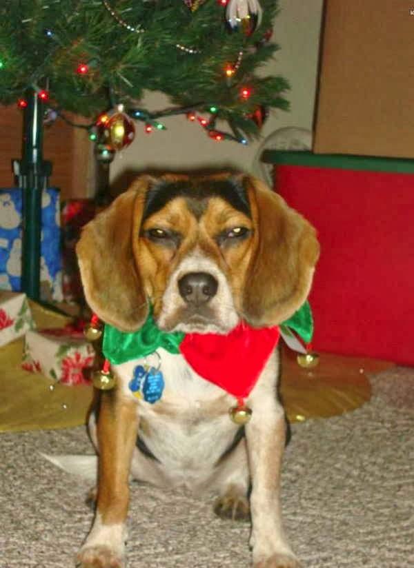 adorable dog pictures, beagle dog hates christmas