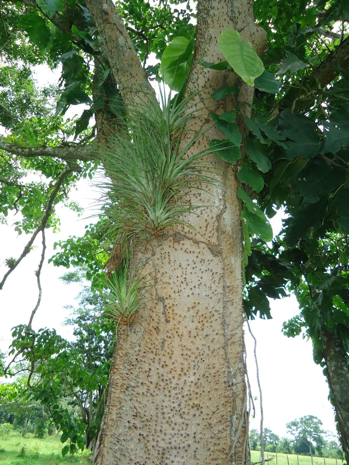 Plantas maderables for Lista de arboles perennes