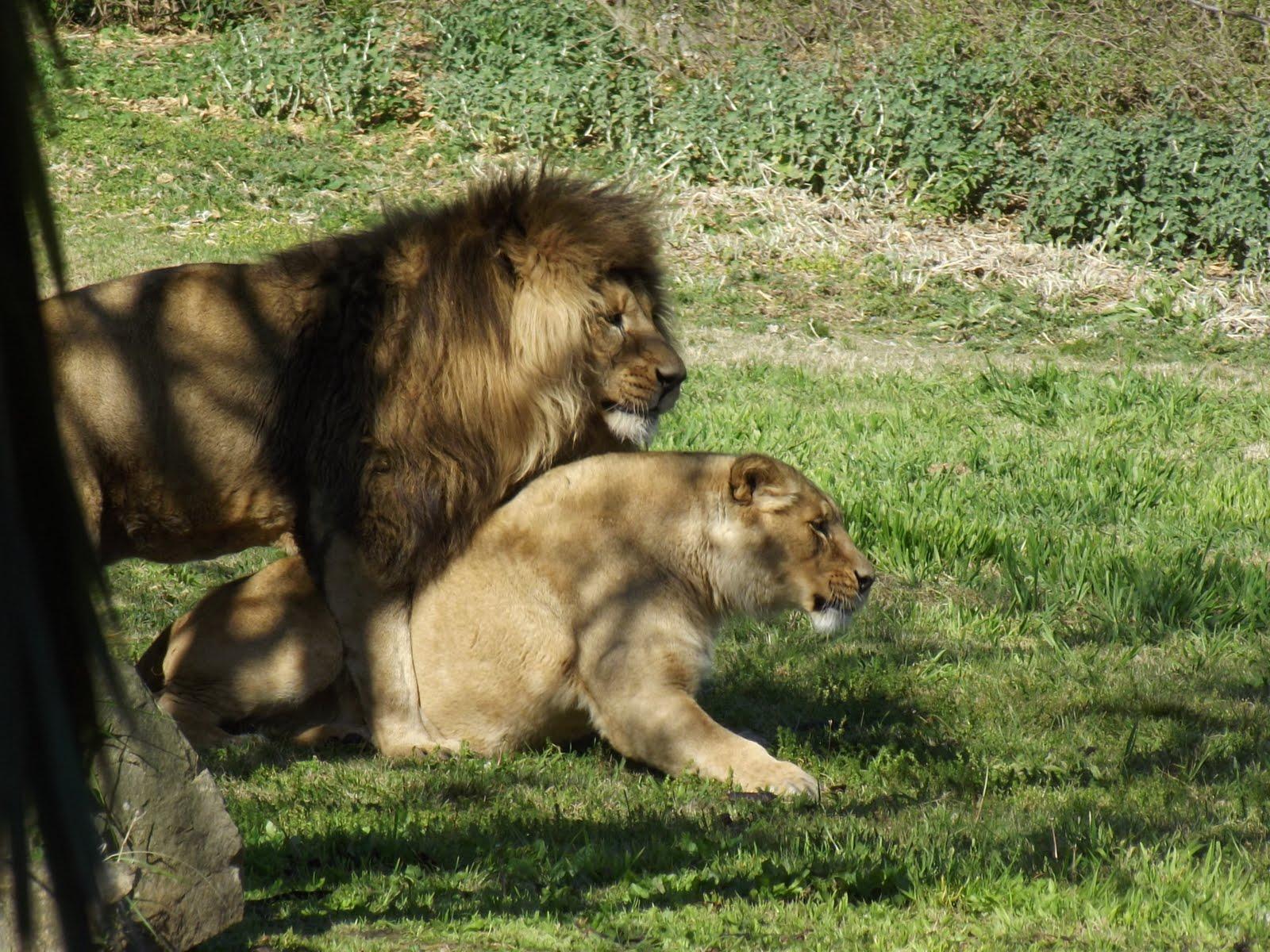 Fotomania el ritual de apareamiento de los leones - Leones apareamiento ...