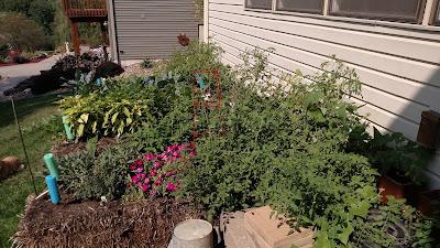 My Straw Bale Garden at Harvest
