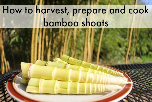 How to harvest and cook bamboo shoots