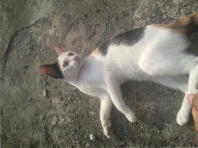foto kucing kampung lucu 04