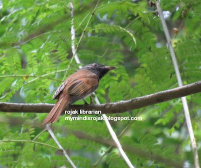 Asian Paradise Flycatcher in Bidadari
