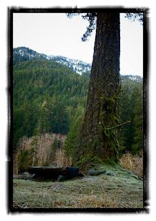 elwha tree
