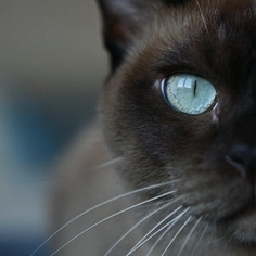 Facts About Burmese Cats