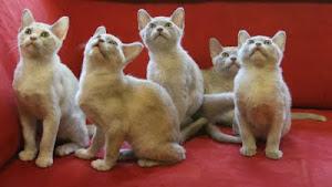 Kissmollin kolmas pentue, syntyneet 23.4.2011
