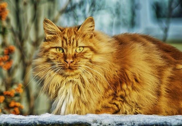 kucing licik