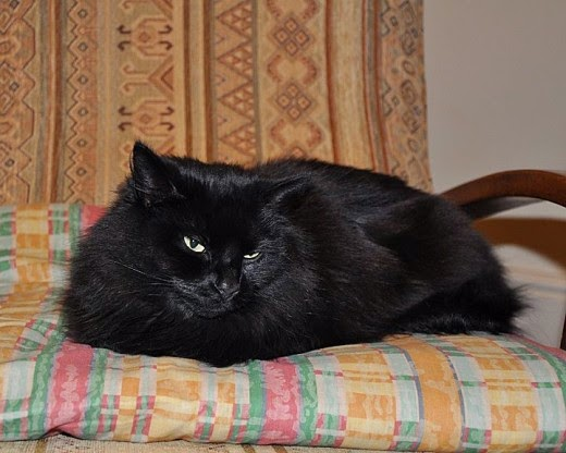 fluffly black cat on a cushion