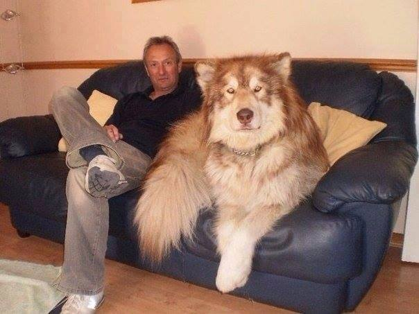 10 Dogs Who Don't Realize That They Are Huge-4 of 10
